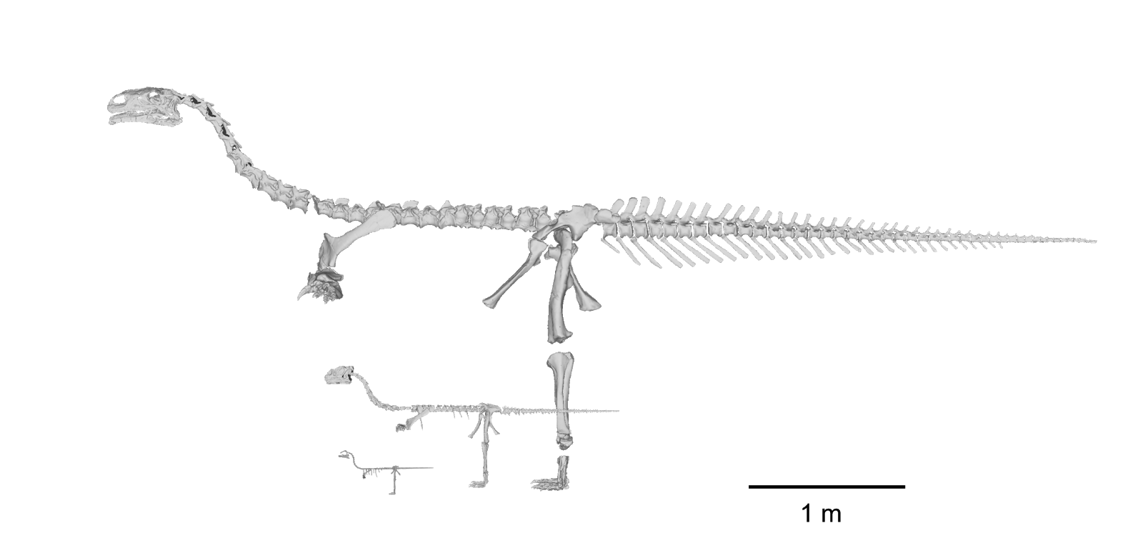 Approximate sizes of three different age groups of Massaurus, from hatchling, to yearling and adult from Dr Andrew Cuff (source: arcuff.blogspot.com)Picture